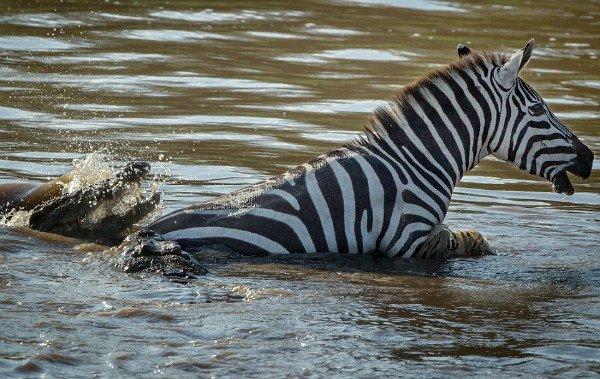 cocodrilo acecha a una cebra