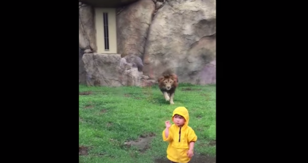 león intentó atacar a un niño
