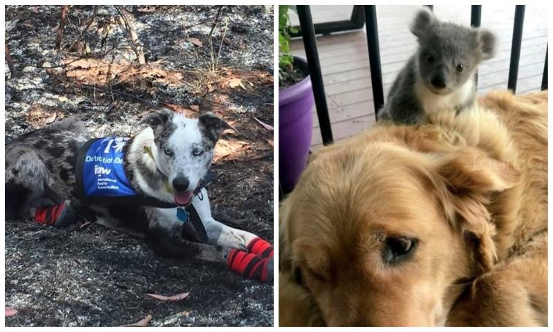 perritos-koala-australia