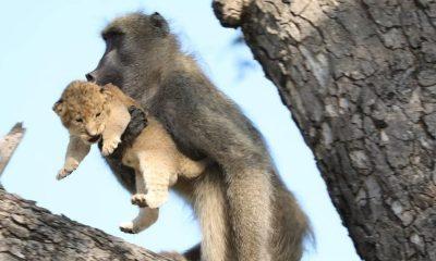 babuino leon