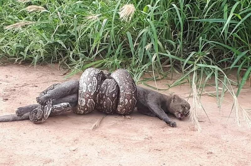 boa-lampalagua-puma-yaguarundí