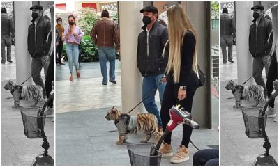 tigre-de-bengala-antara